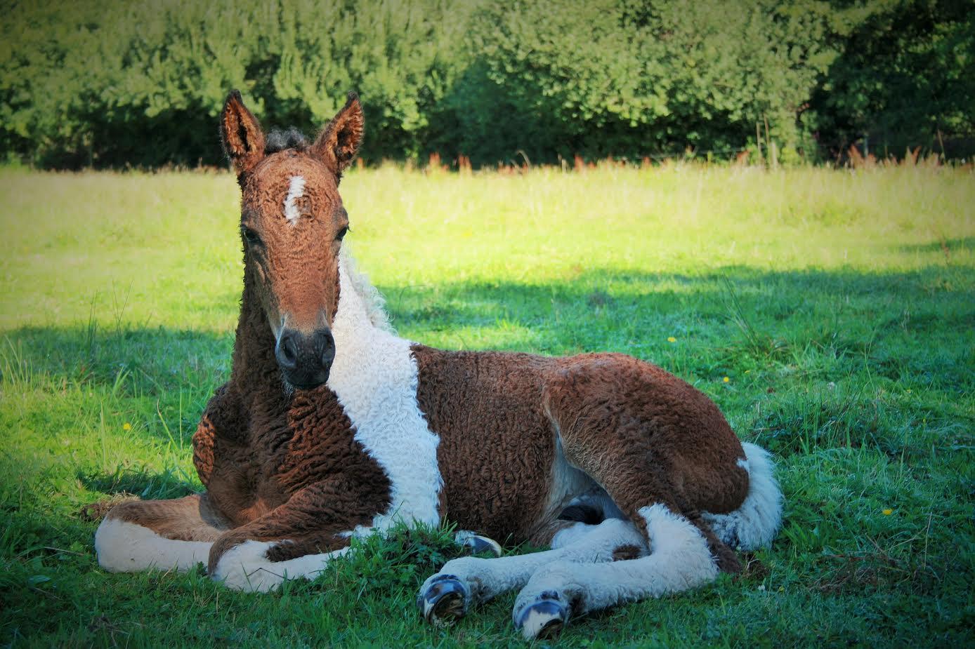 Dry Creek Brave | Curly Horses Niedersachsen