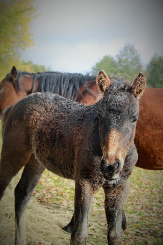 Dry Creek Hazel | Curly Horses Niedersachsen