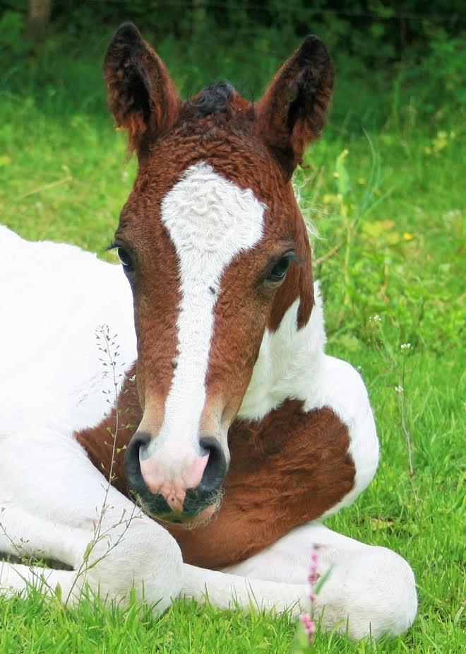 Dry Creek Lionheart | Curly Horses Niedersachsen