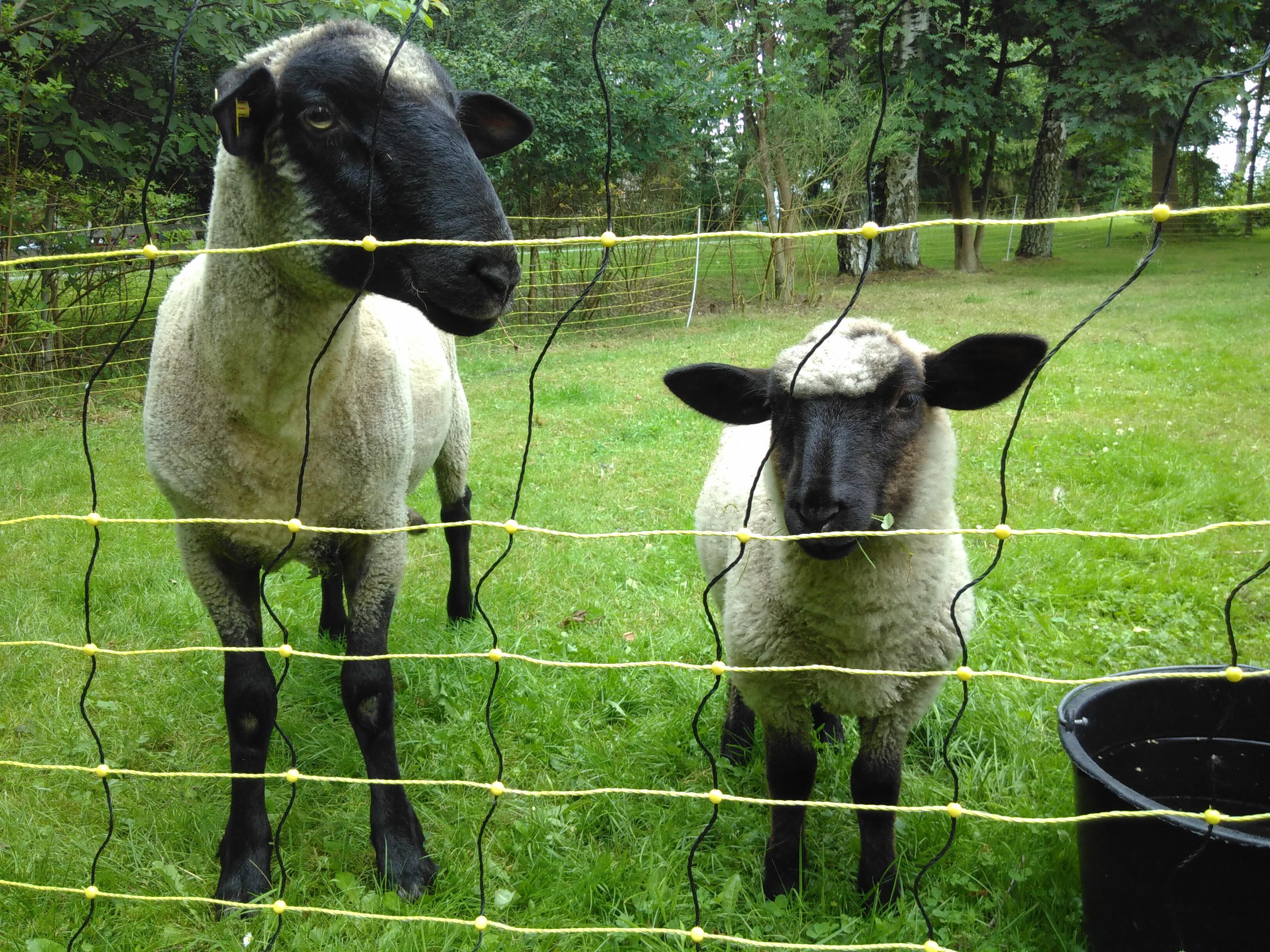 Gute NAchbarschaft mit drei Schafen